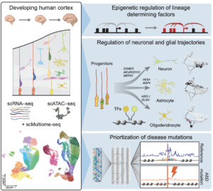 New paper: Chromatin and gene-regulatory dynamics of the developing human cerebral cortex at single-cell resolution
